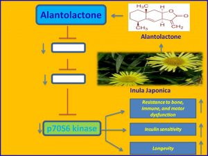 Alanolactone inhibits p70S6 kinase and extends mamalian lifespan