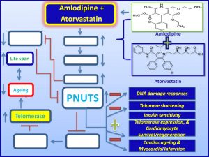 Amlodipine + Atorvastatin induce PNUTS expression and inhibits the progression of myocardial infarction