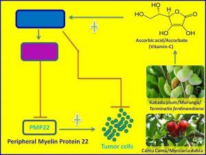 Ascorbate inhibits PMP22