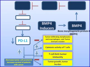 BMP4 inhibits PDL1 expression