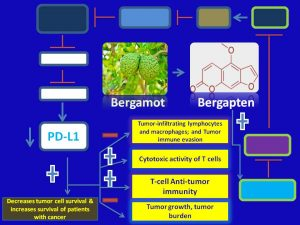Bergapten inhibits PDL1 expression