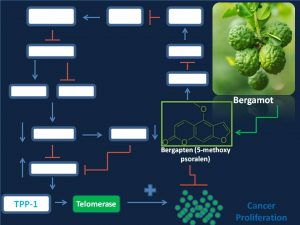 Bergapten inhibits TPP1 and telomerase expression