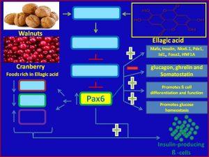 Ellagic acid increases Pax6 expression