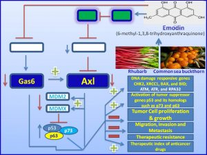 Emodin inhibits Gas6 and Axl proteins to promote tumor regression