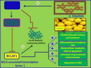 Eriocitin inhibits Bclaf1 expression