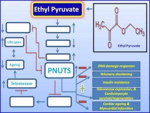Ethyl Pyruvate induces PNUTS expression