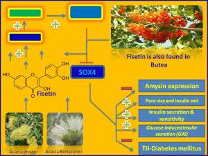 Fiesetin inhibits Sox4 and amysin expression