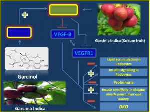 Garcinol inhbits VEGFB expression