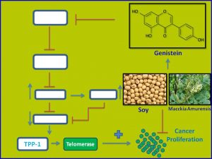 Genistein inhibits TPP1 and Telomerase expression