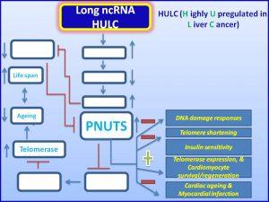 HULC increases PNUTS expression