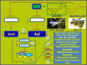Luteolin and Maslinic acid inhibit Axl and Gas6 expression