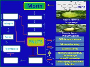Morin induces PNUTS and ameliorates myocardial infarction
