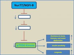 NUR77 inhibits p70 S6 Kinase expression and extends mammalian life span