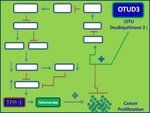 OTUD3 inhibits TPP1 expression