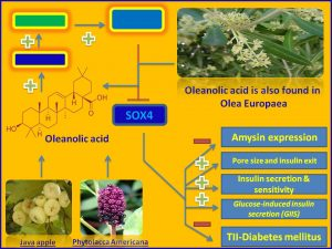 Oleanolic acid inhibits SOX4 and Amysin expression and promotes insulin secretion
