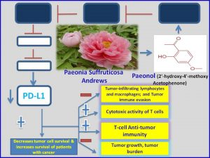 Paeonol inhibits PDL1 expression