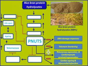 Rice bran induces PNUTS expression