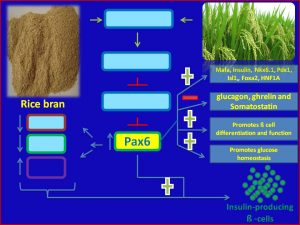 Rice bran induces pax6 expression