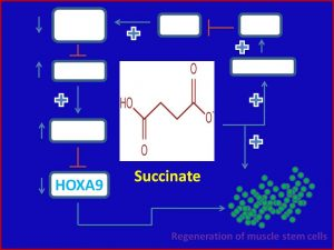 Succinate inhibits HOXA9 expression