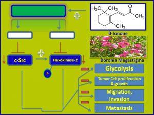 betalonone inhibits cSrc and Hexokinase2 expression