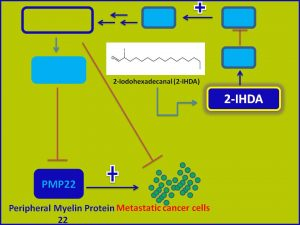 2IHDA inhibits PMP22 expression