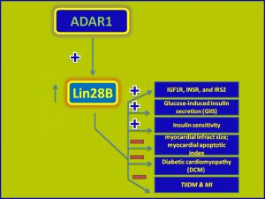 ADAR1 induces Lin28B and promotes insulin sensitivity