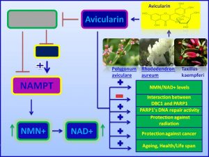 Avicularin increases NAD +levels, augments DNA repair activity and deacerelae ageing process