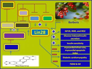 Berberine increases Lin28 expression and promotes insulin sensitivity