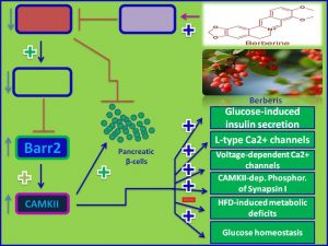Berberine induces Barr2 expression and promotes insulin sensitivity