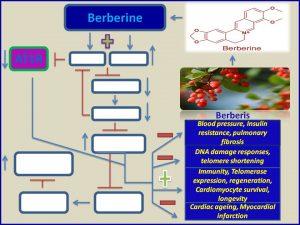 Berberine inhibits ATIR and promotes longevity