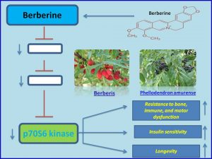 Berberine inhibits p70 S6 kinase