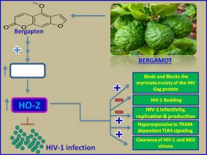 Bergapten inhibits HIV1 infection
