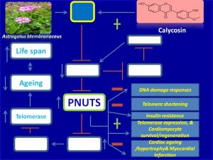 Calycosin induces PNUTS expression