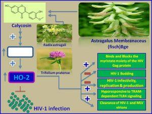 Calycosin inhibits HIV1 infection