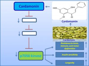 Cardamomin inhibits p70 S6 kinase expression and extends lifespan