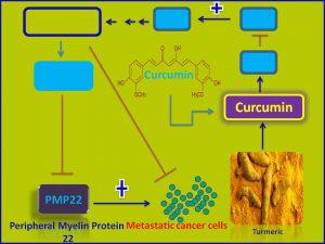 Curcumin inhibits PMP22 expression
