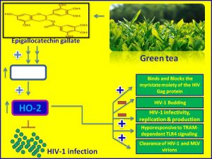 Epigallocatechin gallate inhibits HIV1 infection