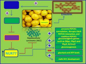 Eriocitrin induces Nur77 expression and inhibits Hepatocellular development