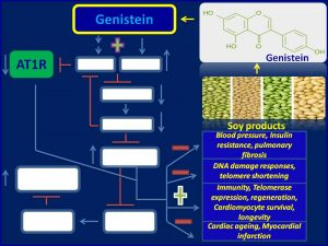 Genistein inhbits AT1R, decreases b.p and extends lifespan