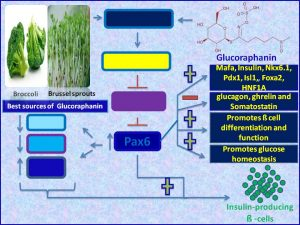 Glucoraphanin increases Pax6 expression and promotes insulin sensitiivty