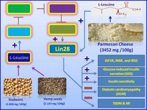 Leucine increases the expresison of Lin28