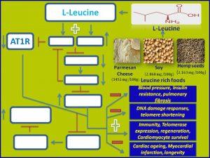 Leucine inhibit AT1R expression and promotes longevity