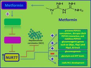 Metformin induces NUR77 and inhibts HCC development