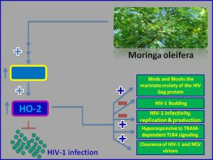 Moringa inhibits HIV1 expression