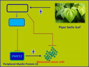 Piper betle leaf inhibits PMP22 expression