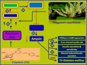 Polydatin increases Amysin expression and promotes insulin sensitivity