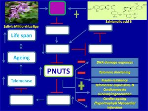 Salvianolic acid B induces PNUTS expression and prevents myocardial infarction