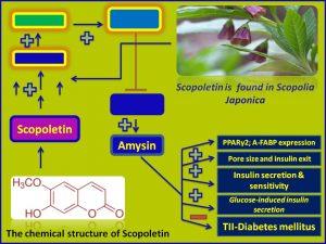 Scopoletin increases Amysin expression