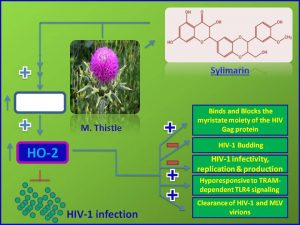 Sylimarin inhibits HIV1 infection