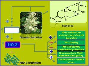 Triptolide inhibits HIV1 propagation